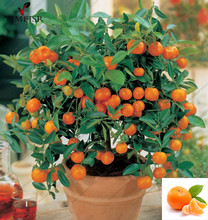 Sweet Citrus Fruit Tree Seeds (Citrus reticulata)eating organic fruit Mandarin Orange seeds for Indoor plant bonsai tree 30seeds