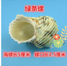 01 Decoration Crafts Natural conch shells hermit crab shell fish roll shell special aquarium decorations.5CM