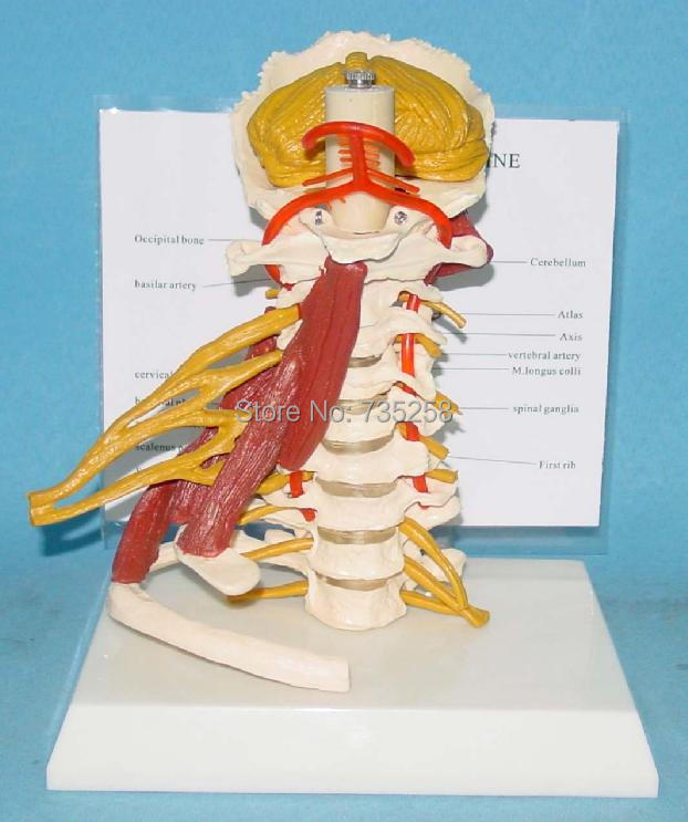 Advanced Cervical Nerve Muscle Model,Cervical Vertebra Model<br>