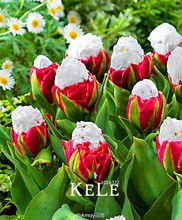 Time-Limit!!10 PCS/Bag Cabbage Rare tulip seeds. Very rare flower seeds garden bonsai potted plants,sementes de flores ,#WQB7Z7