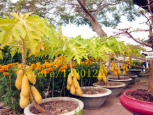 30 seeds/bag Papaya Tree Seeds---mini potted bonsai, perfect fruit for your family good for body and breast best gift for women(China)