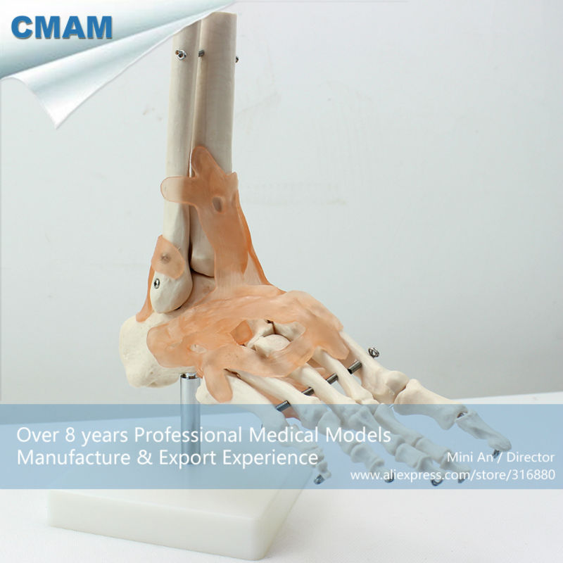 12348 CMAM-JOINT02 Life-Size Foot Joint Skeleton with Ligaments Medical Models<br>