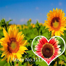 Garden Cheap wholesale potted dwarf sunflower seeds, Color packaging Flower seeds - 50particles free Shipping for Christmas