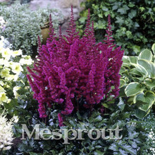 Pack 10Red Astilbe Chinensis Seeds Balcony Garden Patio Potted Bonsai Plants Chinese Flower - Share-life store