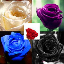 2015 New Rare 100 Pcs Rose Seeds Flowers Purple Black White Red Blue/Lovely Rose Seeds Bonsai