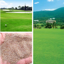 Growth low creeping bentgrass Grass seeds Resistance to trampling DIY home garden Free Shipping 50g / Pack(China)