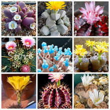 50 Pcs Mini Cactus Blue Plants Mixture of Cactus Seeds DIY Home Garden Rare Succulent Seeds Indoor Plants Flowers Free Shipping