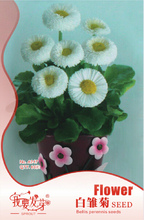 10 Original Packs, 60 Seeds / Pack, Dwarf White English Daisy Bellis Perennis Flower Seeds