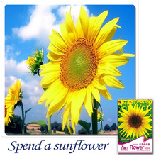 Buy 2 Get 1!(Can accumulate ) 1 Pack 15 pcs Japan Sunflower Flower Lovely DAY HAPPY A034(China)
