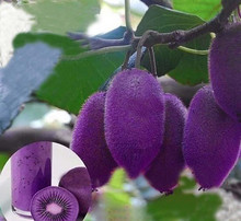 free ship 40 seeds New varieties Purple Heart Kiwi Seeds Kiwi Fruit Tree Bonsai Seeds for Home & Garden