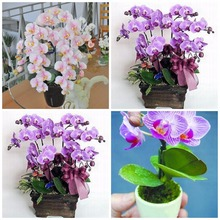 hydroponic orchid seeds,indoor flowers bonsai four seasons,Phalaenopsis Orchids - 50 pcs seeds