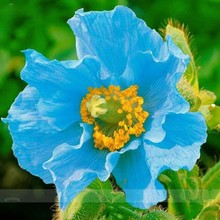 Rare Persian Blue poppy Papaver Somniferum Flower Seeds DIY Home Garden Easy to Grow 200 Particles / lot