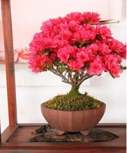 30 seeds/pack Bonsai potted plant red crape myrtle tree seeds flower seed