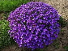 20 seeds/pack Aubrieta cultorum seeds for drought-tolerant rock garden of Villa Park in a variety of places Aubrieta seeds