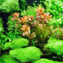 New aquarium grass seeds (mix) water aquatic plant seeds family easy plant seeds 500PCS + Gift Lotus seed