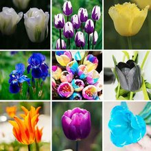 100pcs/bag Bonsai Tulip Seeds 20 Varieties Rainbow Black Purple Yellow Blue Tulip Flower Seeds Potted Plants