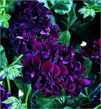 Geranium seeds, potted balcony, planting seasons, sprouting 95% 20 piece