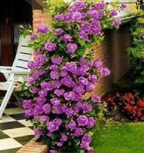 50 seeds/pack Top Selling High Quality Bonsai Purple Climbing Rose Seeds Free Shipping For Home Garden