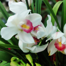 120 Particles Pink with White Chinese Cymbidium Seeds Elegant Flower Bonsai Orchid Flowers Seeds