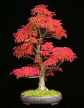 30 seeds/pack Mini Beautiful Red Maple Bonsai Seeds DIY Bonsai Maple Tree Seeds