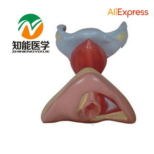 BIX-A429 Vagina Genital Organs Female Reproductive System Model<br><br>Aliexpress