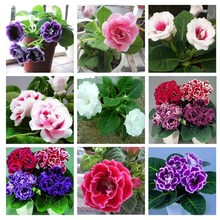 9 Colors Can Be Choose Gloxinia Seeds Perennial Flowering Plants Sinningia Speciosa Bonsai Balcony Flower - 100 PCS