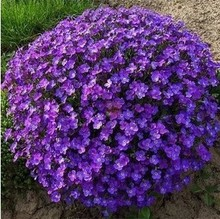 20 seeds/pack Aubrieta cultorum seeds for drought-tolerant rock garden of Villa Park in a variety of places Bonsai seeds