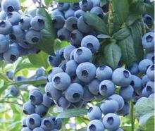 Cheap Bonsai Sweet Blueberry Seeds fruit seed perennial flower pots planters 50 seeds/pack