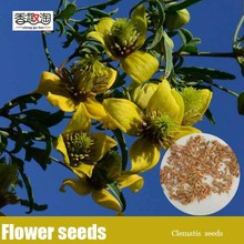 50pcs/bag Yellow flower clematis Seeds, Perennial Ornamental vine Seeds,Can grow in low temperature - 26 degrees