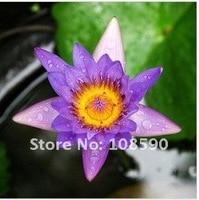 40 шт. цветок семена много чаша от цветка растений nut вас, как завод цветок много