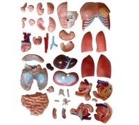 85 см мужская топы 40 части, с открытой спиной, парни анатомические модель, модель образования