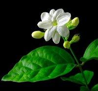 50 шт./цвета лот жасмин семян - * 50 семян в упаковке * семена цветов приусадебного грустные