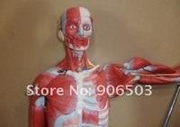 анатомическая модель, человека модель конечности, мышцы человека, мышцы мужчины с внутренних органов, бесплатная доставка