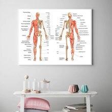 Corpo humano anatomia lona arte da parede cartaz impressão esquelético sistema muscular didático quadro pintura sala de estudo decoração-2