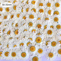 100Pcs/set Real Natural Dried Pressed Flowers White Daisy Pressed Flower for DIY Resin Jewelry Nail Stickers Makeup Art Crafts