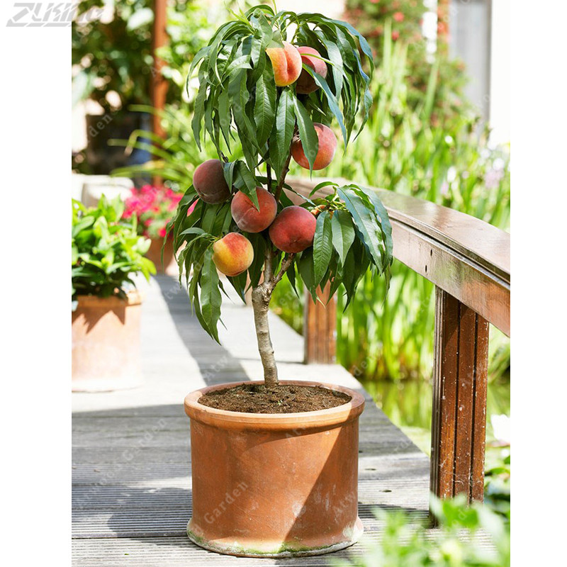 5 PCS Rare Chinese Original Organic Peach  Bonsai Nutrition Delicious Fruit Decor For The Garden And The Yard Lants