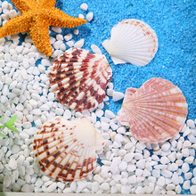 scallops natural conch shells aquarium landscape Gift Family home decoration Fish tank Marine theme Party Decor DIY Crafts 500g