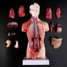 Cuerpo del Torso humano modelo anatomía, órganos internos médicos anatómico para enseñar