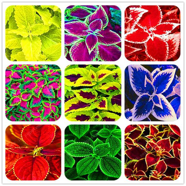 100pcs Janpanse Bonsai Coleus Plant Foliage Plants Perfect Color Rainbow Dragon Bonsai Beautiful Flower Plant Garden Semente