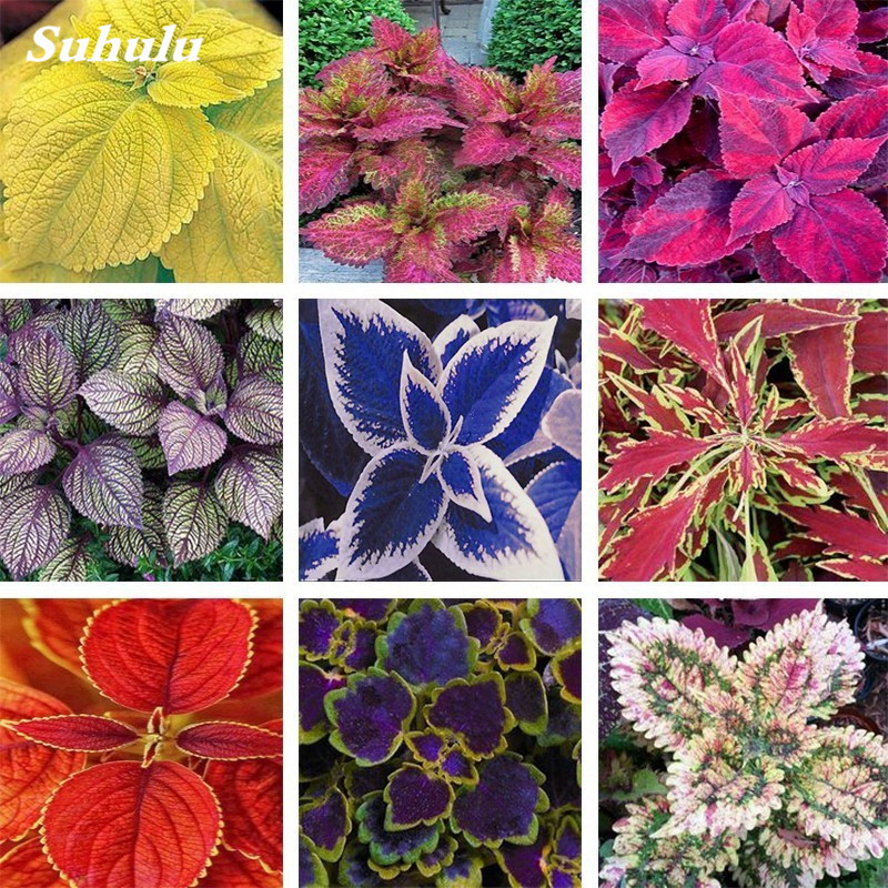 100Pcs Coleus Bonsai Rare Coleus Blumei Rainbow Mix Color Flower Bonsai For Home Garden Indoor Bonsai Plant Coleus Boleus Tohum