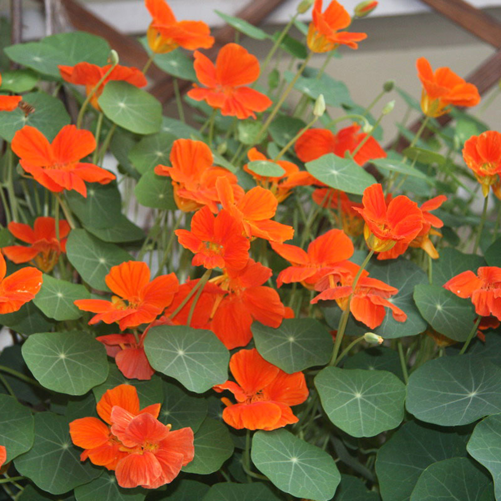 50pcs Mixed Color Nasturtium Seed Flower Bonsai Plant DIY Garden Decoration