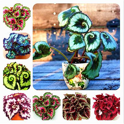 15 Colors 100pcs Beautiful Begonia Flower Bonsai Potted Flowers Bonsai Garden Patio Balcony Coleus Bonsai