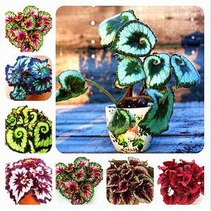 15 colors 100pcs beautiful begonia flower bonsai potted flowers bonsai garden patio balcony coleus bonsai