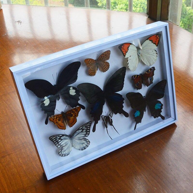 espécime real educação material coleção borboleta espécime arte material decoração