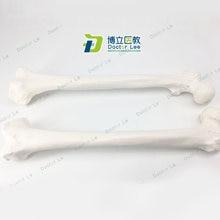 Modèle de squelette humain à Surface réaliste grandeur nature, pour l'éducation des patients et la formation des étudiants