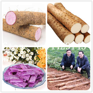 Taro High-Nutrition Vegetables for Food-Plants Organic Purple 100pcs Cylindrical-Roots