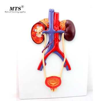 Hi-Q Urinary System Model High-definition Urinary System Medical Teaching Model Imported PVC Material Urology Model detailed anatomical urinary system model