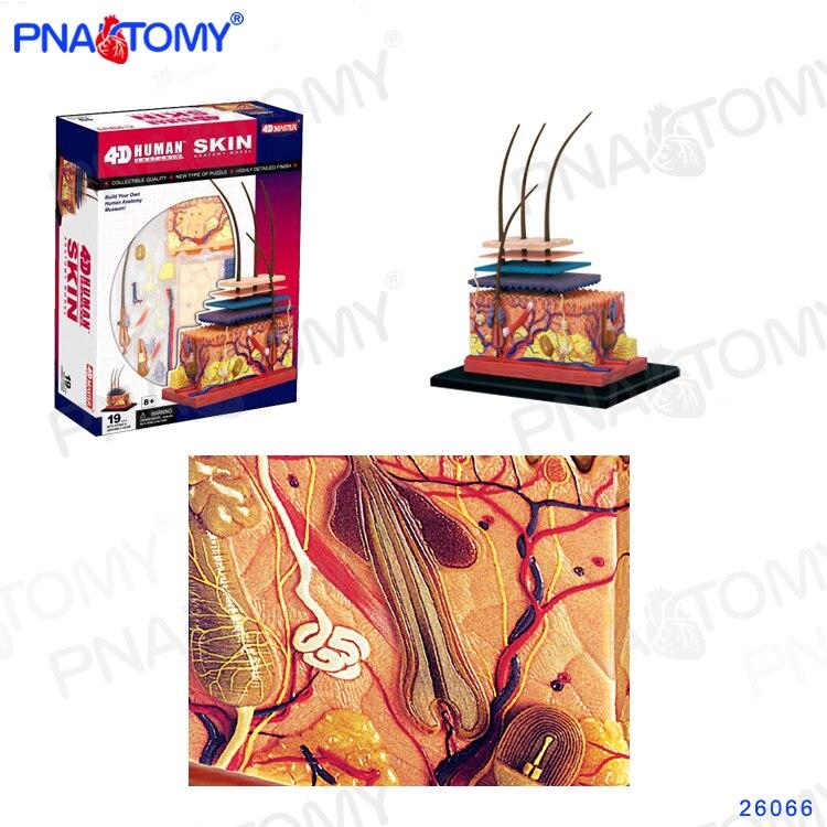 Modelo de pele humana destacável diy brinquedo equipamento educacional com manual 4d mestre alargada estrutura da pele 19 pces