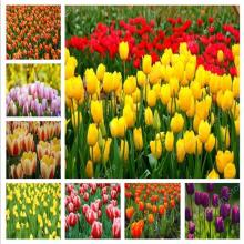 Горячее предложение! Распродажа! 500 шт тюльпан бонсай сортов Радужный тюльпан высококачественный цветок Свадебные украшения для садовые цветы, растения символизируют любовь