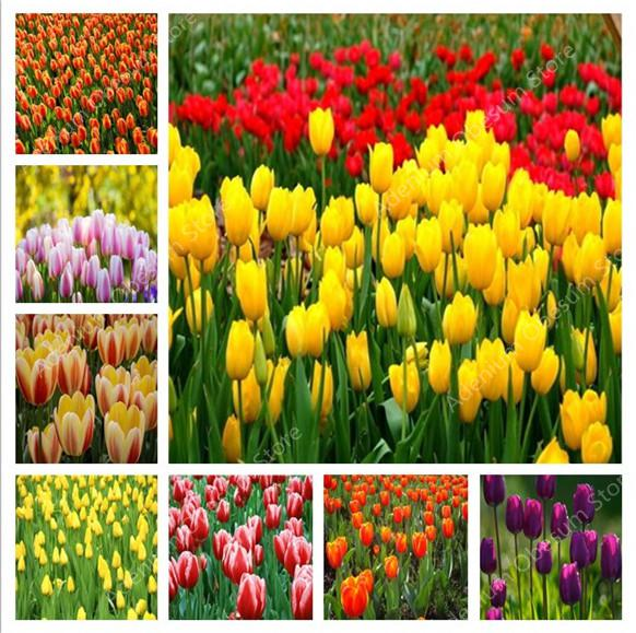 Hot! 500 Pcs Tulip Bonsai Varieties Rainbow Tulip High-Grade Flower Wedding Decoration For Flower Garden Plants Symbolizes Love